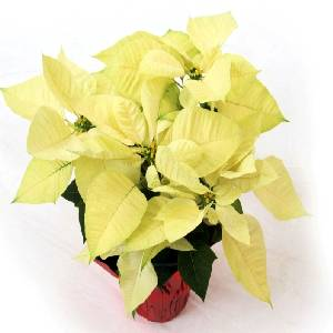 Poinsettia Option 3