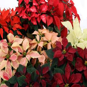 Poinsettia Option 2