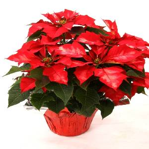Poinsettia Option 8