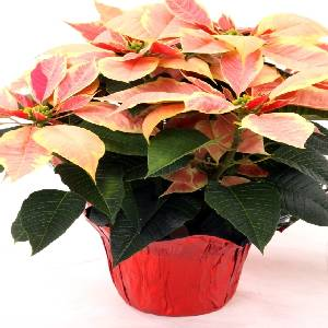 Poinsettia Option 7
