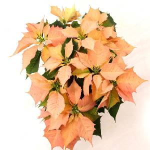 Poinsettia Option 6